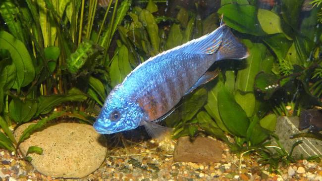 рыбка родом из африки королева ньяса плавает в аквариуме