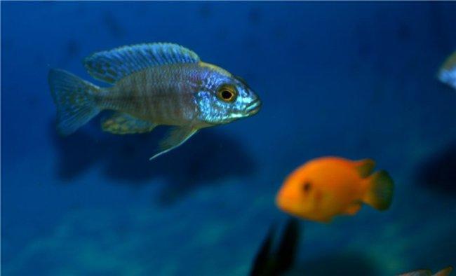цихлида королева ньяса в аквариуме
