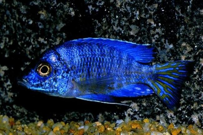 рыбка королева ньяса