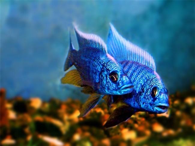 аквариумные рыбки королевы ньяса