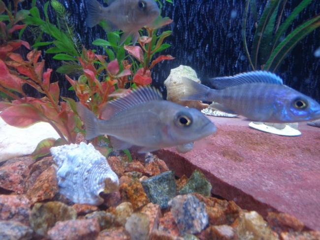 рыбки королевы ньяса в аквариуме