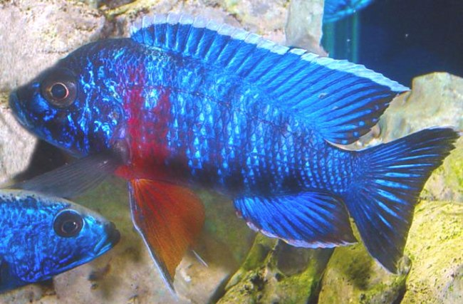королева ньяса или аулонокара ньяса в аквариуме
