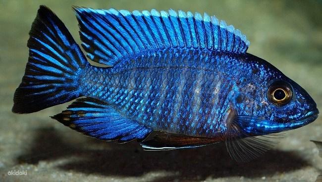 африканская рыбка королева ньяса