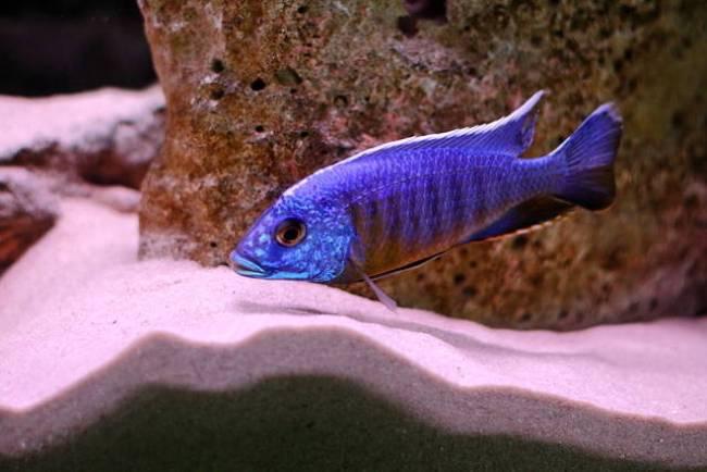 рыбка королева ньяса или аулонокара ньяса плавает в аквариуме