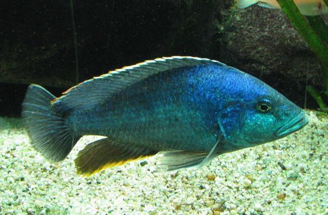 африканская рыбка королева ньяса плавает в аквариуме