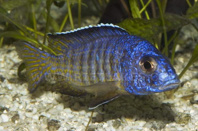 рыбка родом из африки королева ньяса в аквариуме