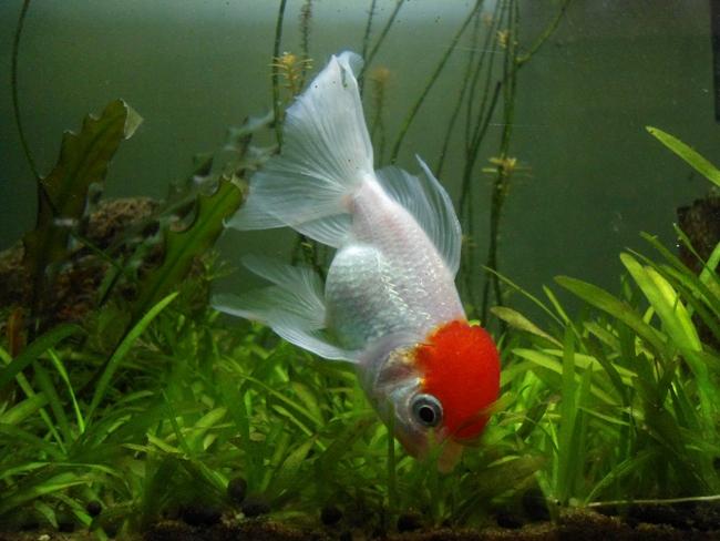оранда красно-белого цвета плавает в аквариуме