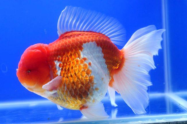 бело-золотая рыбка оранда