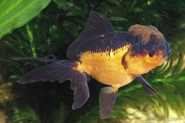 черно-золотая оранда плавает в аквариуме