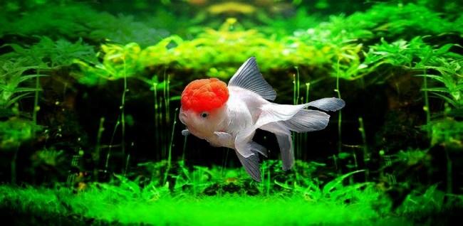 оранда в аквариуме на фоне растений