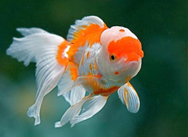 красно-белая рыбка оранда