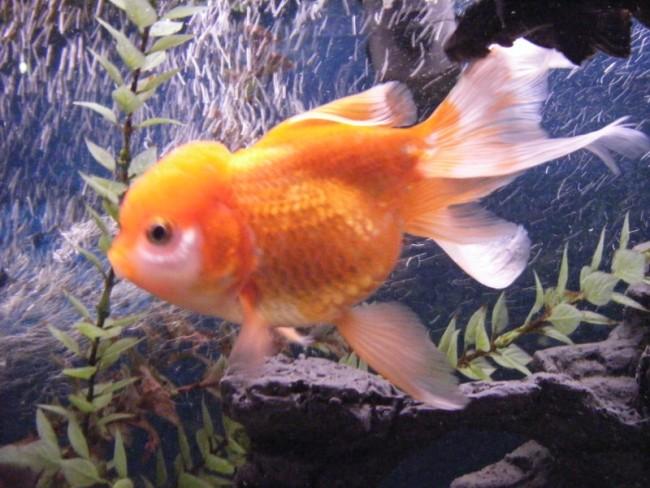 аквариумная золотая рыбка оранда