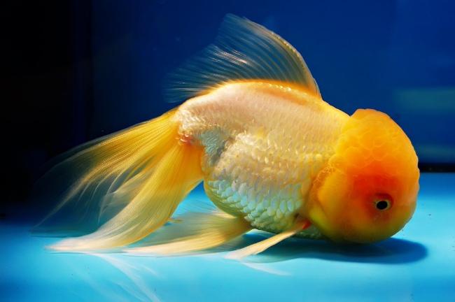 золотая рыбка оранда или красная шапочка