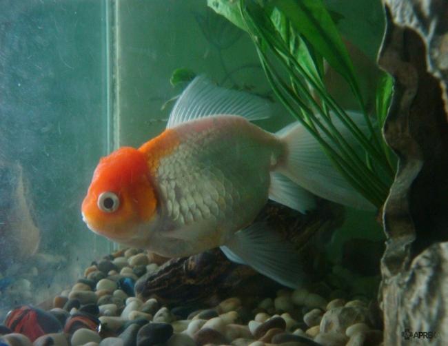 золотая рыбка оранда или красная шапочка в аквариуме