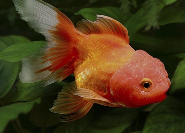 красно-золотая оранда на фоне растений в аквариуме