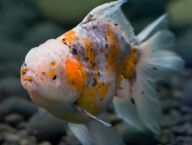 оранда или красная шапочка плавает в аквариуме