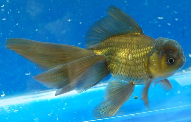 черно-золотая рыбка оранда