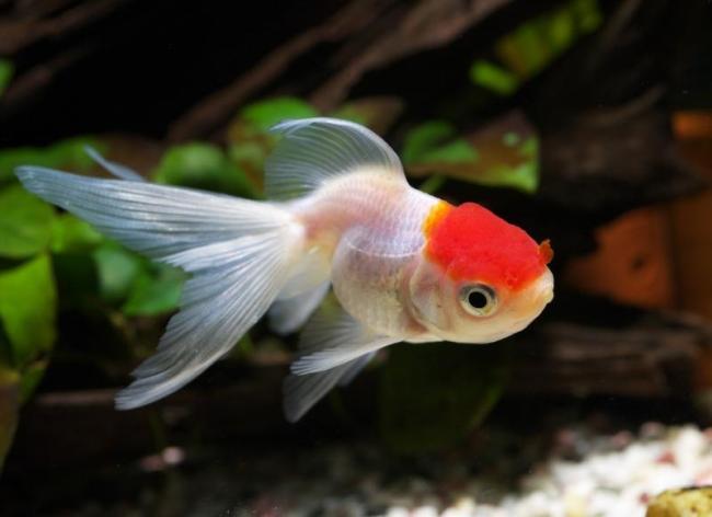 рыбка оранда плавает в аквариуме