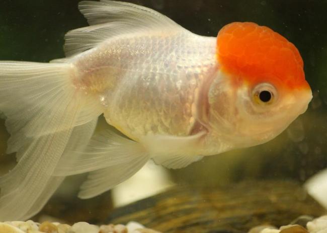аквариумная рыбка оранда