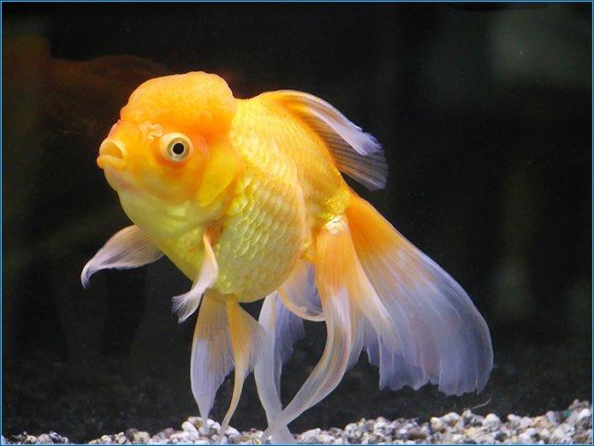 аквариумная золотая рыбка оранда или красная шапочка