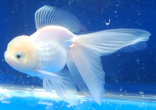 рыбка оранда белого цвета