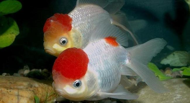 рыбки оранды