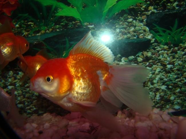японская золотая рыбка оранда или красная шапочка плавает в аквариуме