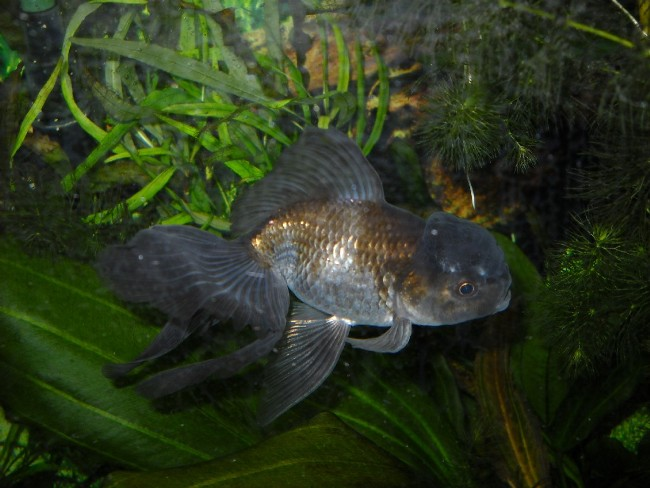 оранда черного цвета плавает в аквариуме на фоне растений