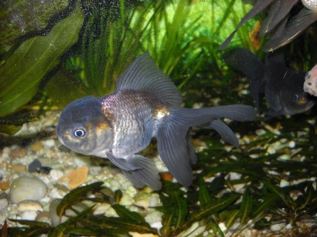 японская золотая рыбка оранда черного цвета