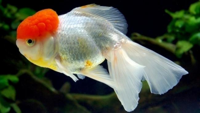 золотая рыбка оранда или красная шапочка плавает в аквариуме