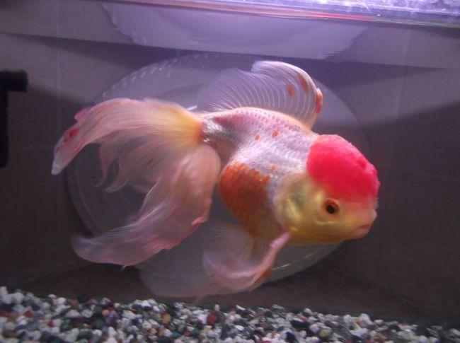 золотая рыбка оранда красно-белого цвета плавает в аквариуме