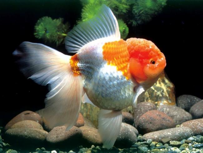 японская золотая рыбка оранда или красная шапочка в аквариуме