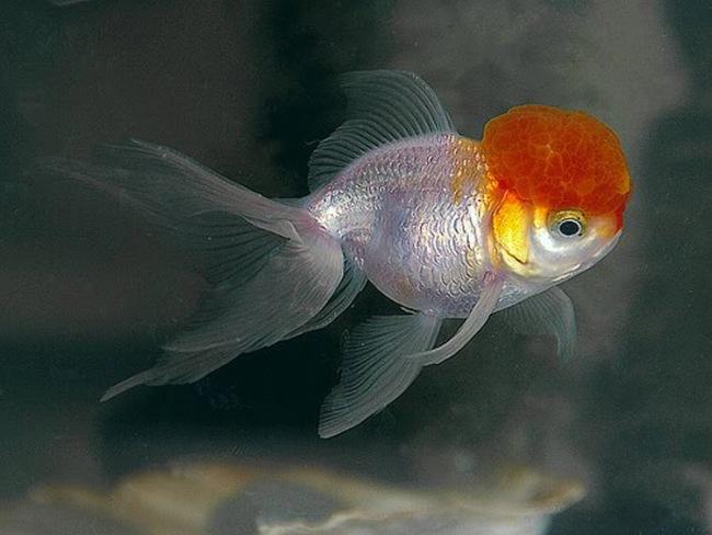 рыбка оранда или красная шапочка плавает в аквариуме