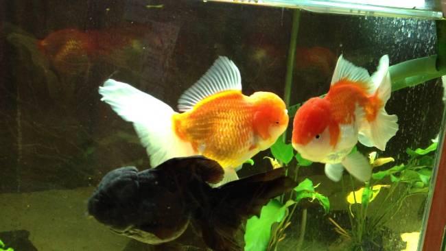 аквариумные рыбки оранды