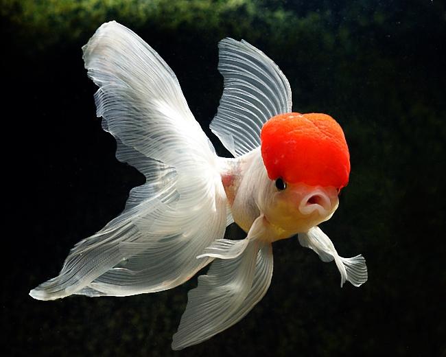японская золотая рыбка оранда