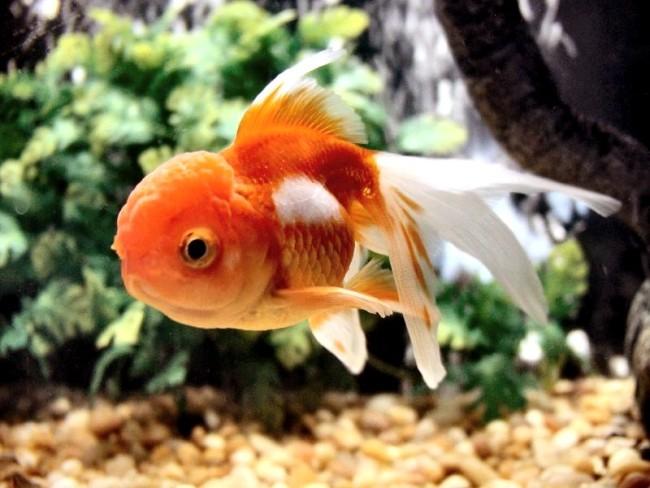 золотая рыбка оранда в аквариуме