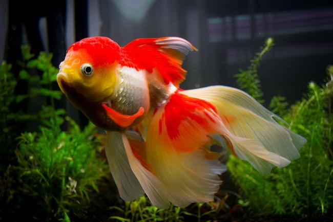 красно-белая рыбка оранда в аквариуме на фоне растений