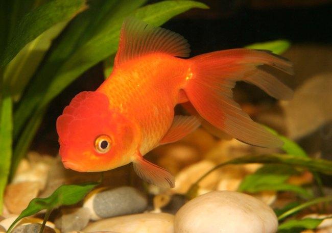 рыбка оранда золотой окраски