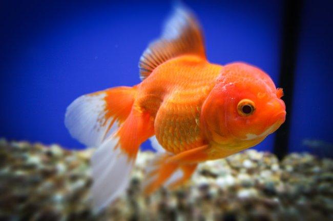 японская золотая рыбка оранда в аквариуме