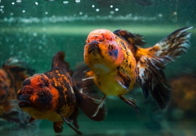 аквариум с рыбками оранда