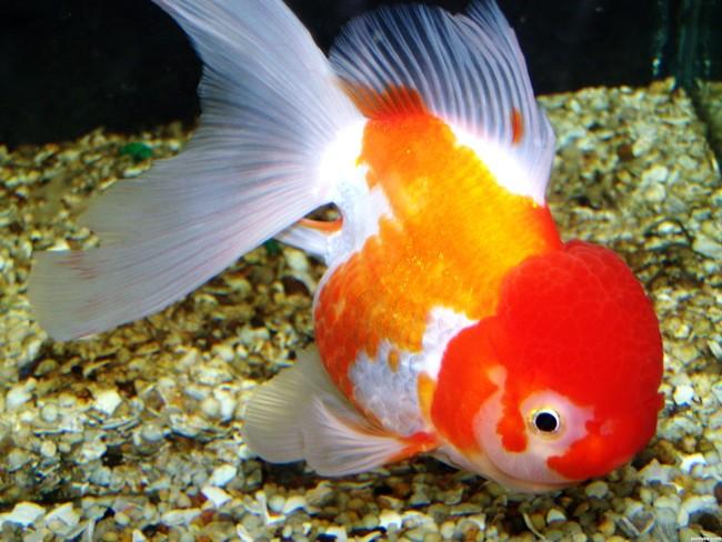 рыбка оранда или красная шапочка