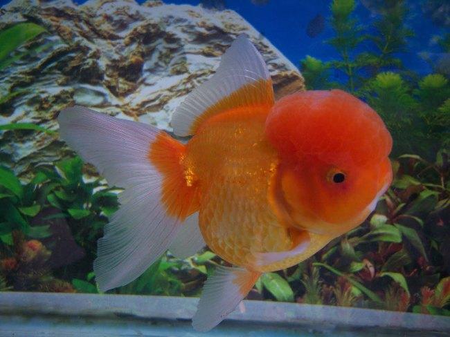 японская золотая рыбка оранда плавает в аквариуме