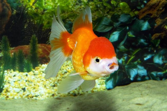 рыбка оранда в аквариуме