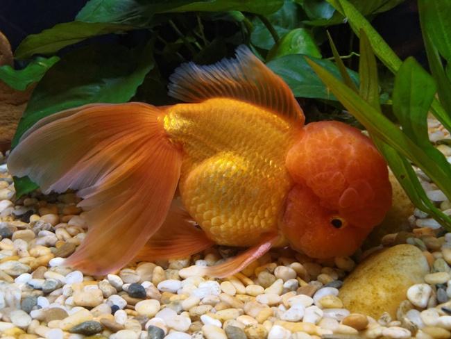 аквариумная рыбка оранда золотой окраски