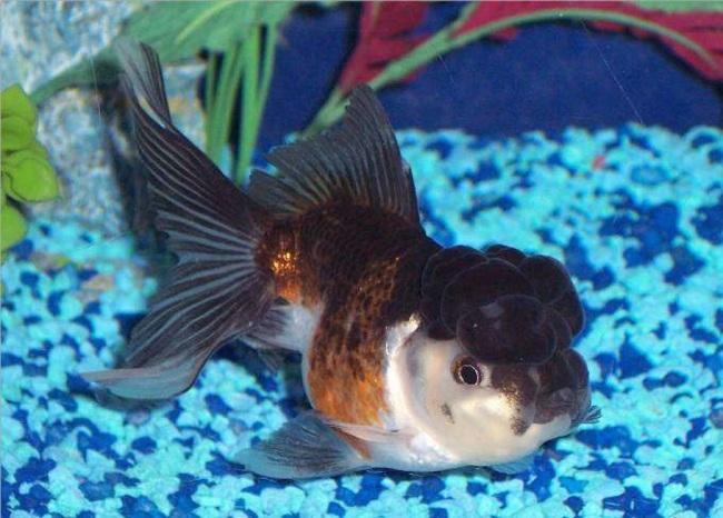 оранда плавает в аквариуме