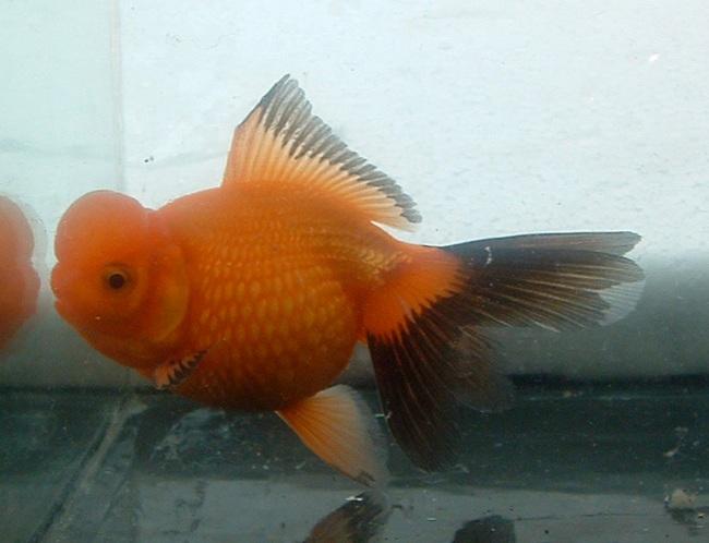аквариумная рыбка оранда или красная шапочка