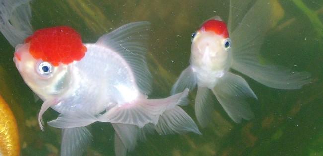 пара рыбок оранда