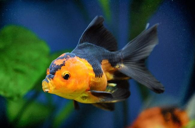 черно-желтая оранда плавает в аквариуме