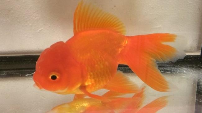золотая рыбка оранда плавает в аквариуме