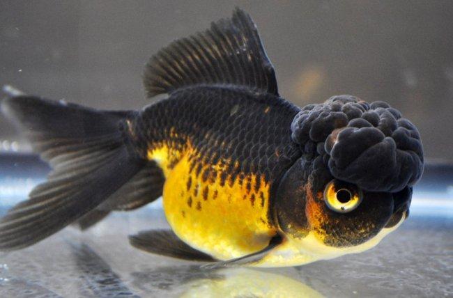 черно-золотая аквариумная рыбка оранда